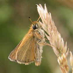 Essex Skipper on Yorkshire-fog, Fardystown, Wexford, 2007. © D Hardiman