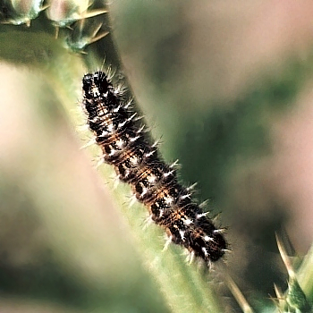 painted lady butterfly caterpillar - photo #29