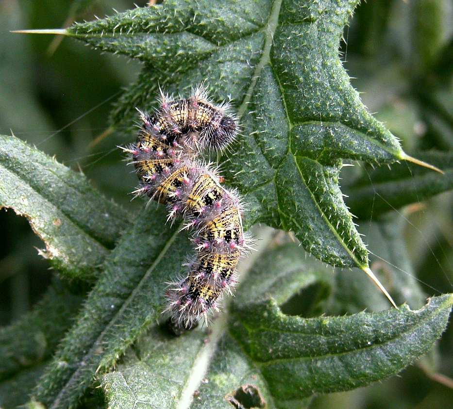 painted lady butterfly caterpillar - photo #27