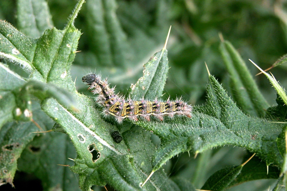 Painted Lady Butterfly Larvae
