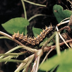 silver-washed fritillary larva on violet plant